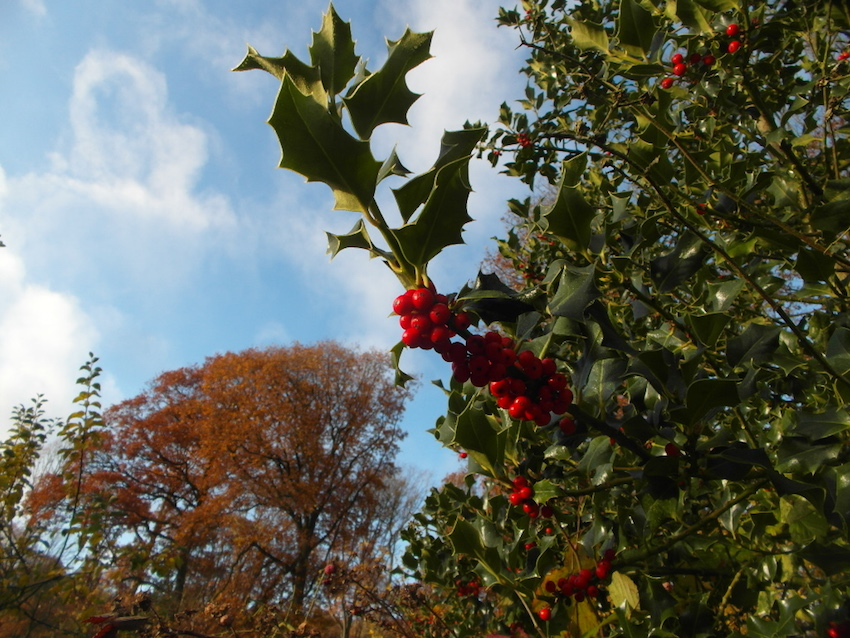 holly berries.jpg