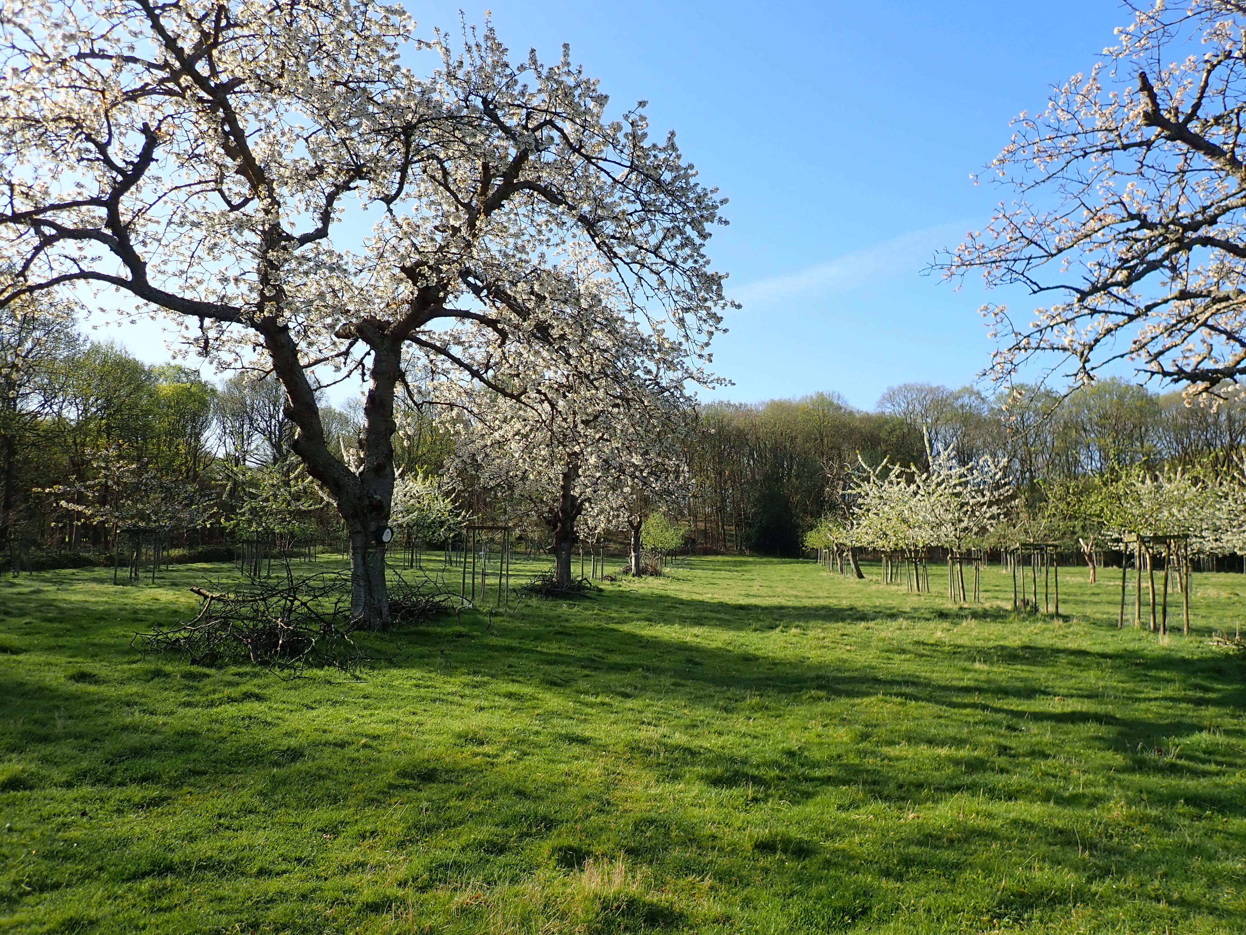 Cherry orchard in bloom 2020.JPG